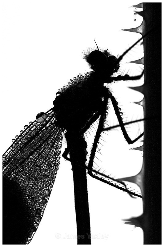 Dew Drop Damoiselle - Nature in Black & White