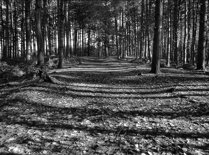 Delamere Forest Cheshire England - Monochrome