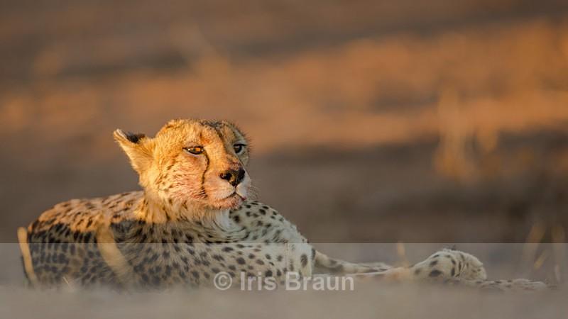 Siesta - Cheetah