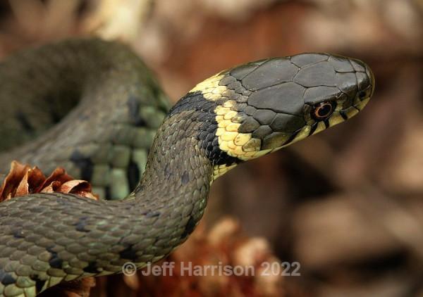 Grass Snake (image GS 006) - Reptiles