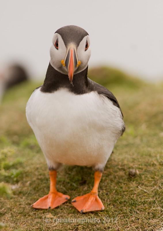 Puffin - Fratercula arctica RPNP0052 - Birds