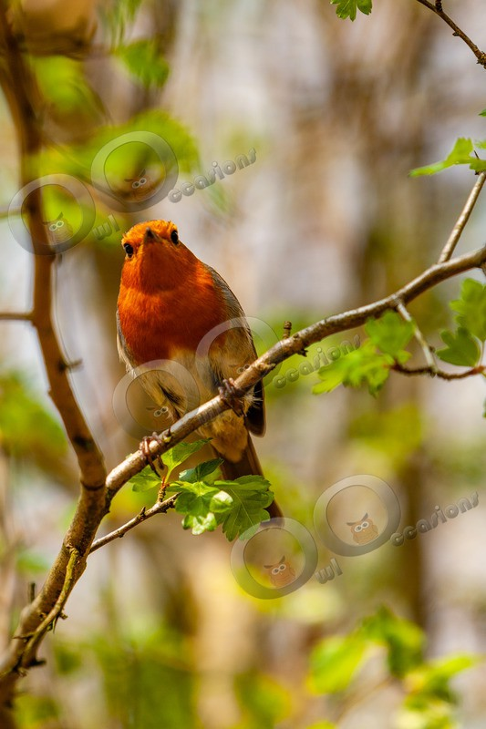 Robin Erithacus rubecula-2923 - UK birds