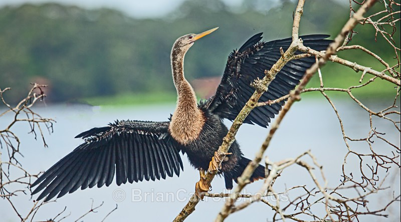 Anhinga or American Darter, Cost Rica - Costa Rican Wildlife