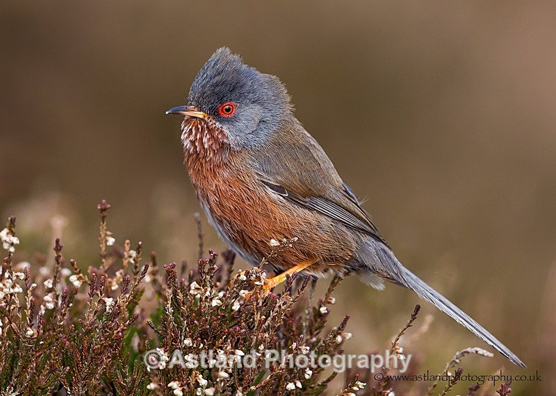 Dartford Warbler - Latest Images