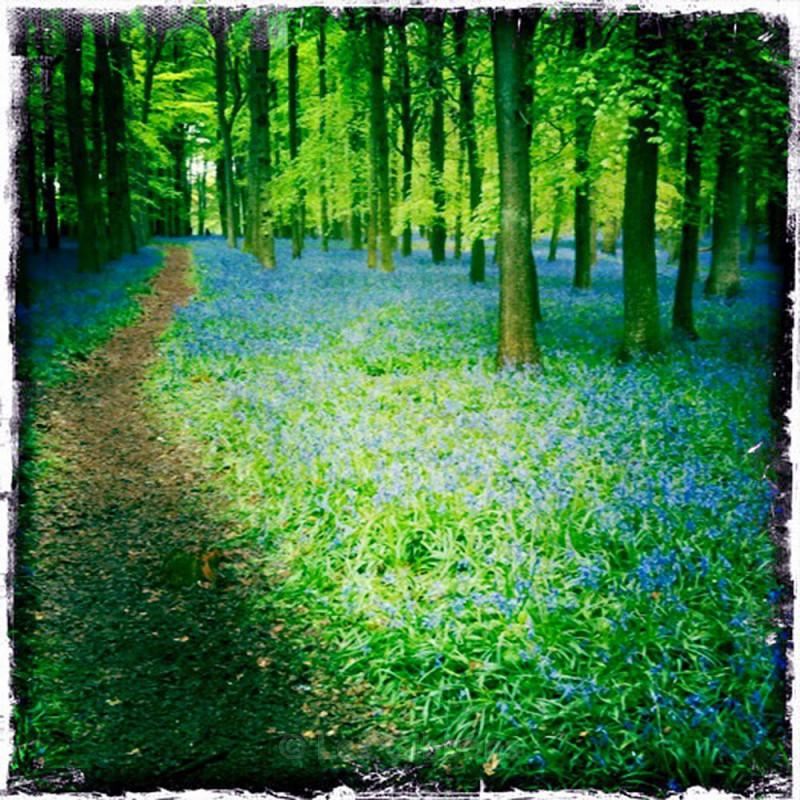 Dockey woods - the path - Ashridge estate