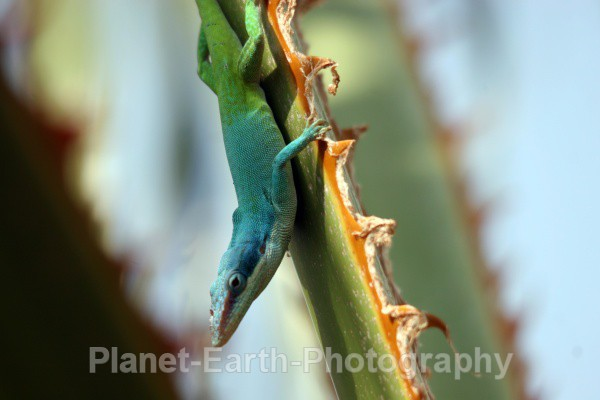 Palm Tree Lizard 2 - Cuba