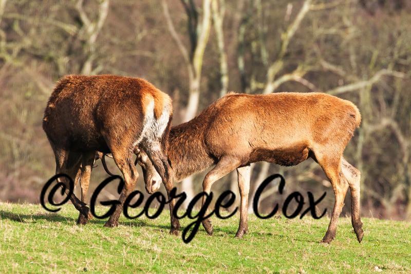Red Deer - Mammals