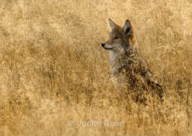 Coyote - Yellowstone