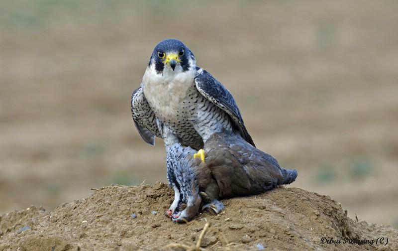 Peregrine Falcon - Birds Of Prey