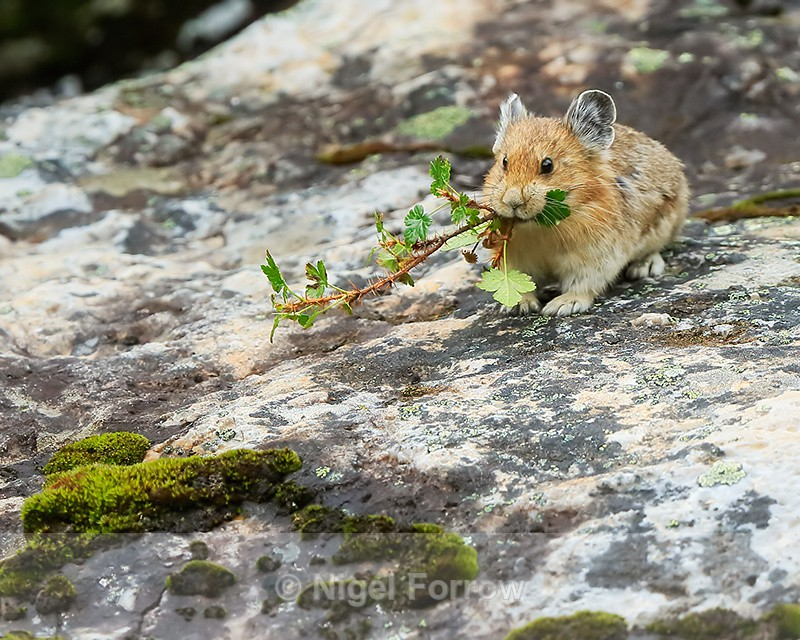 American Pika collecting vegetation for storage as food, Moraine Lake - Pika