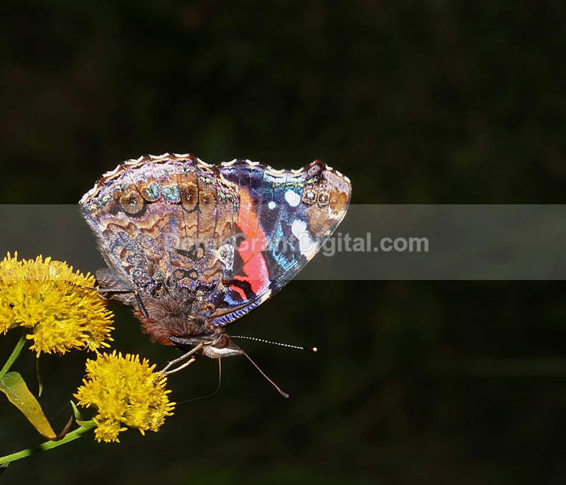 Vanessa atalanta - Butterflies & Moths of Atlantic Canada