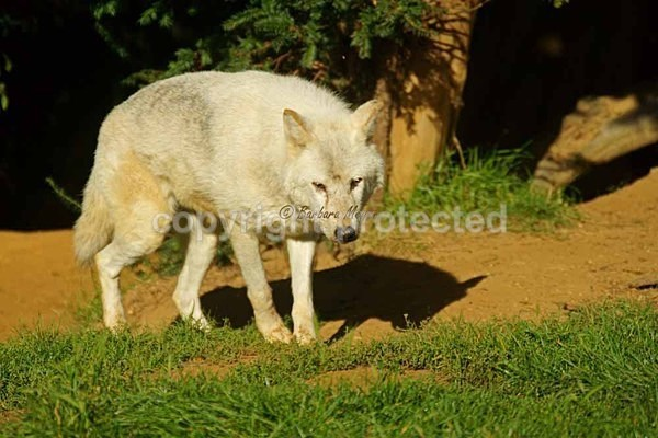 Wolf - Takala (Colchester Zoo) - Smaller Cats & Other Wildlife - Wolves