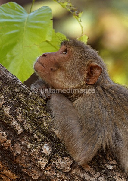 Rhesus monkey - thinking - India