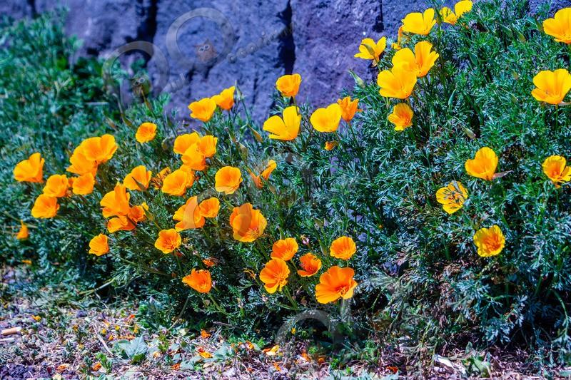 Californian poppy Eschscholzia californica-5539 - Plants and trees