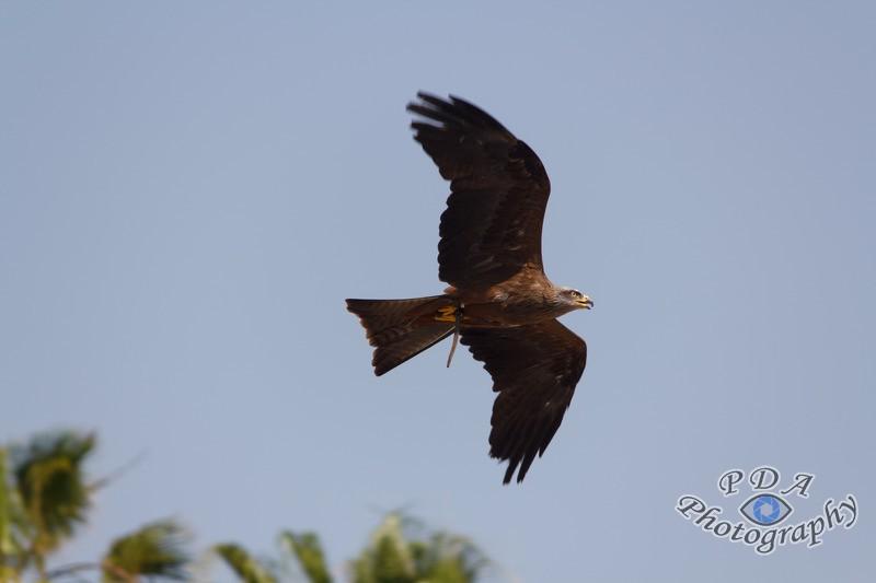 18 Harris Hawk