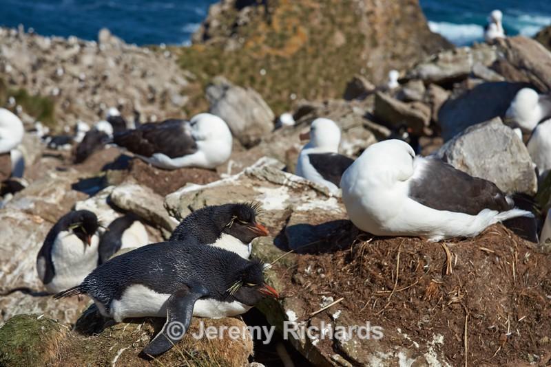 Black-browed Albatross and Rockhopper Penguins - West Point Island