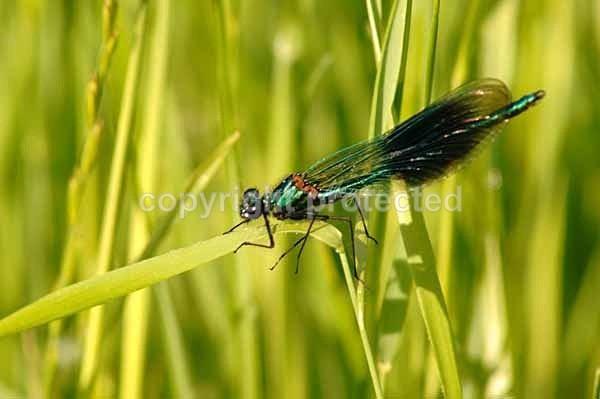 Banded Demoiselle (Lincolnshire) - British Wildlife