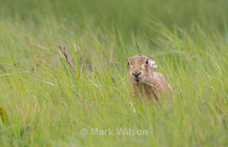 Brown Hare - Norfolk - Animals