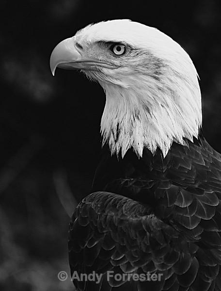 Bald Eagle B&W - Black and White