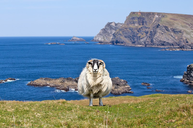 Sheep at Glen Head - Ireland by Day