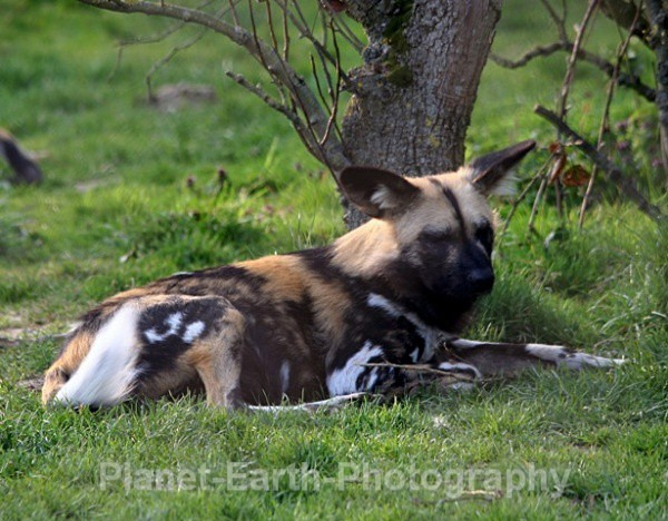 African Wild Dog 16 - African Wild Dogs