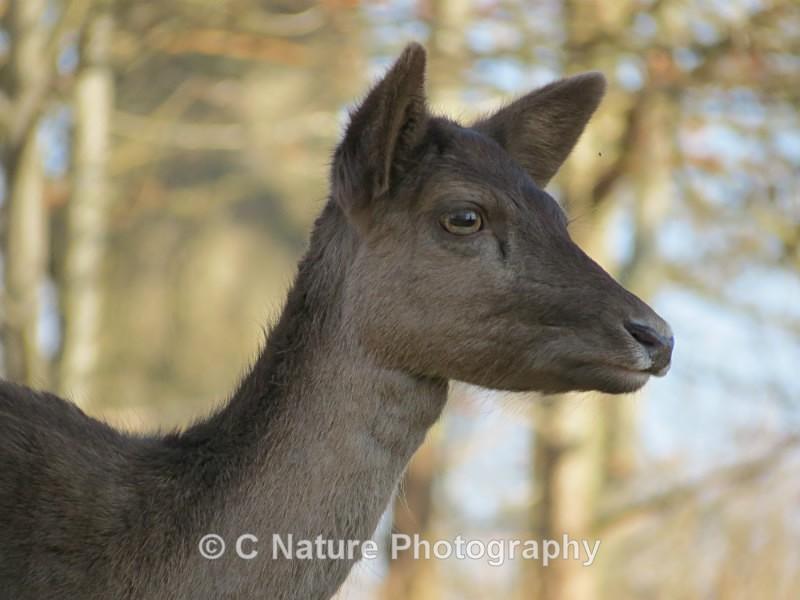Fallow Deer - Animals