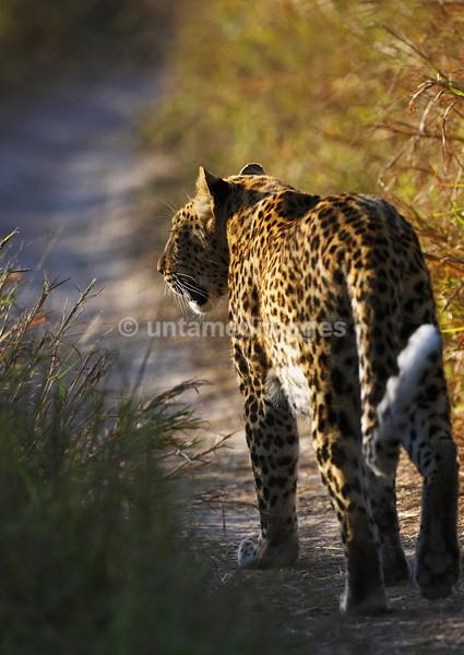 Leopard walking - Botswana