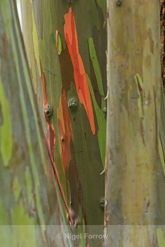 Bark of Rainbow Eucalyptus, Hawaii - PLANTS