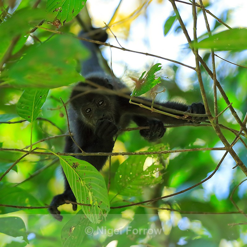 Howler Monkey feeding upside down, Manuel Antonio, Costa Rica - Monkey