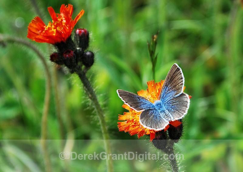 Glaucopsyche lygdamus - Butterflies & Moths of Atlantic Canada