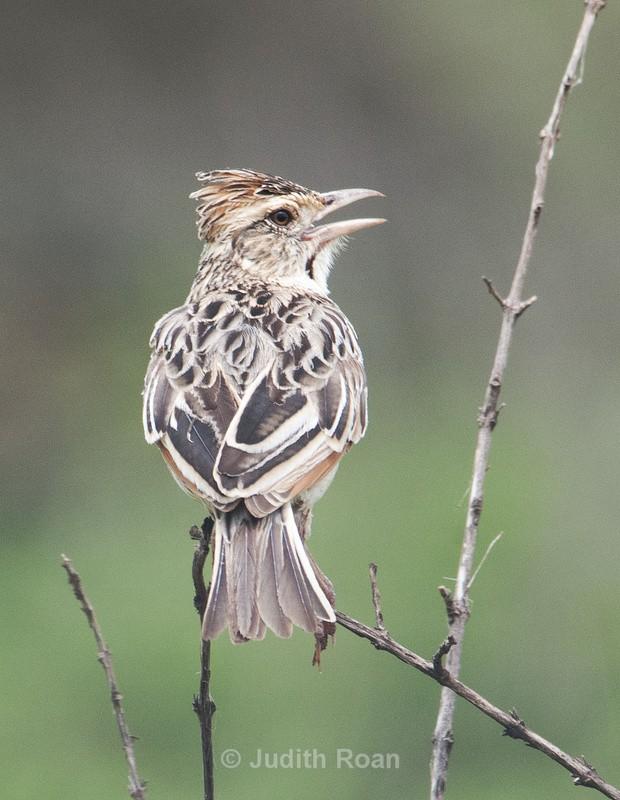 Red-capped Lark - Tanzania Birds and Mammals