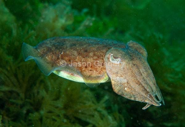 Sepia officinalis - Octopus, Squid & Cuttlefish (Cephalopoda)