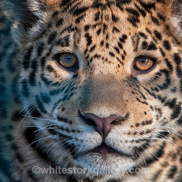 Young Leopard - Wildlife and Animals