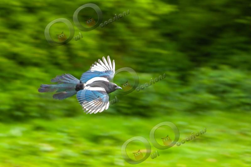 Magpie Pica pica 7201 - UK birds