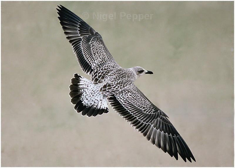 Juv. Lesser Black - Gulls