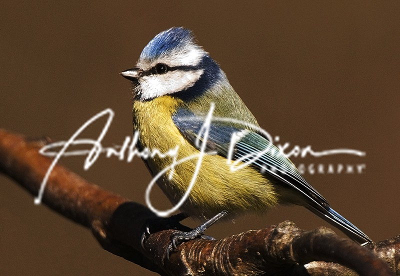 Blue Tit - Latest Images