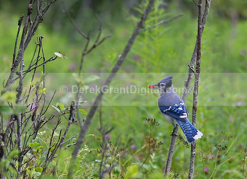 Blue Jay - Birds of Atlantic Canada