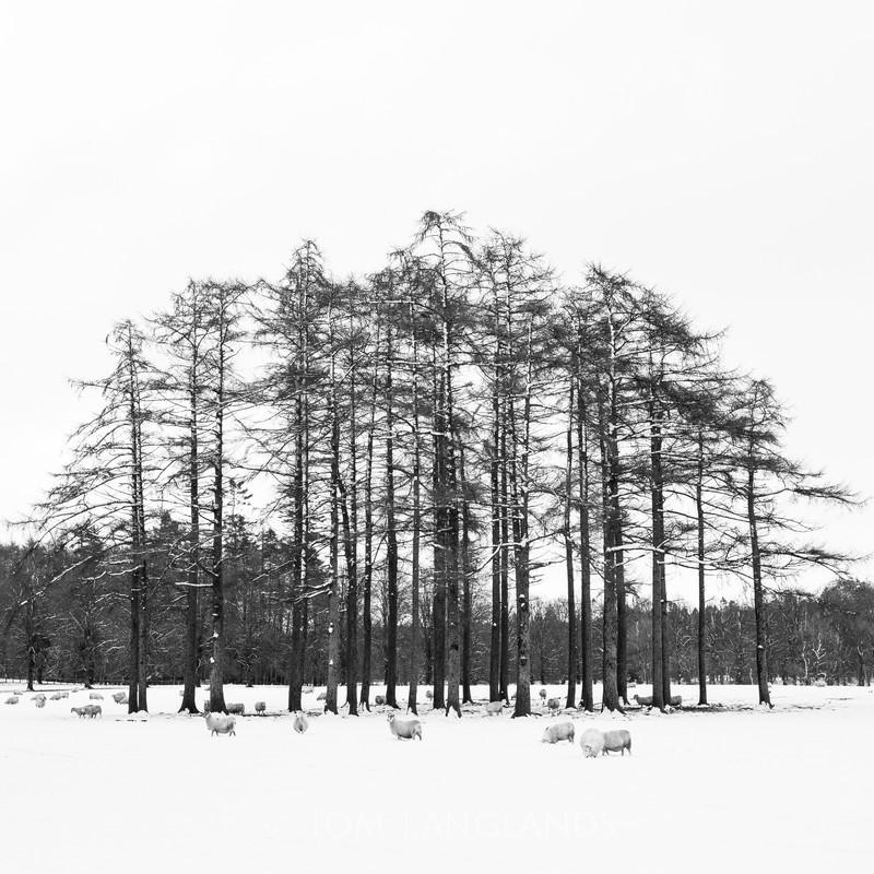 Winter Sheep - Landscapes