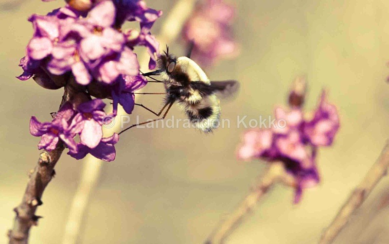 Bee on Tibast, Sweden - New Images