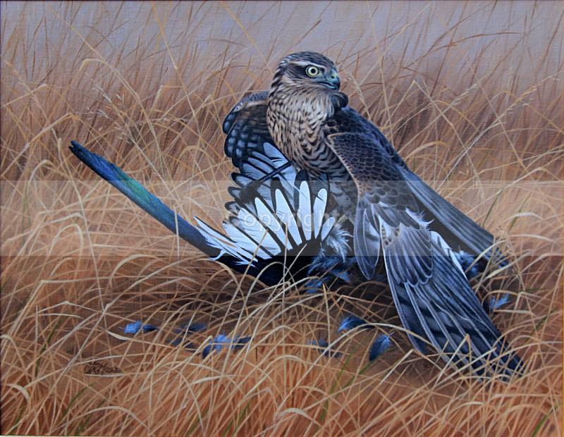 HEDGEROW ASSASIN - BIRDS OF PREY