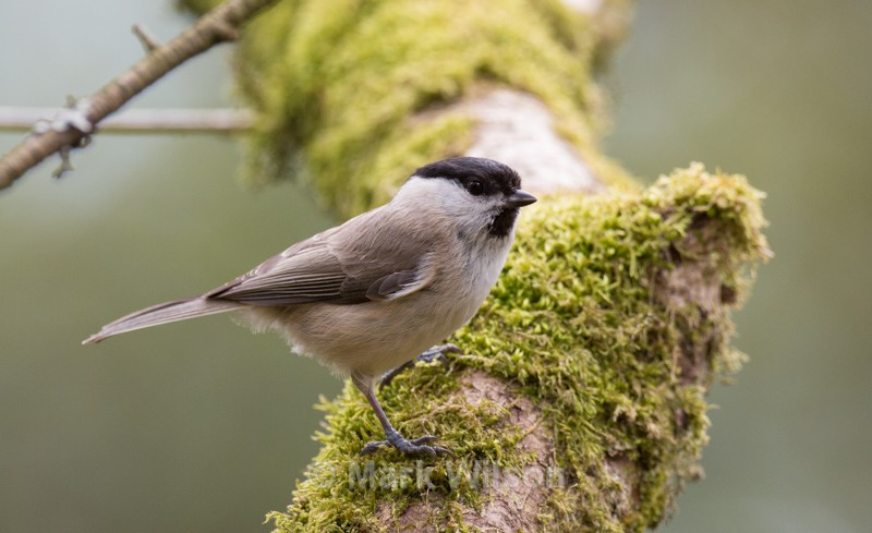 Marsh Tit - Garden birds