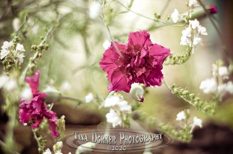 Carnations in a Garden from Plant and Flower Portfolio by Tina Dorner Photography