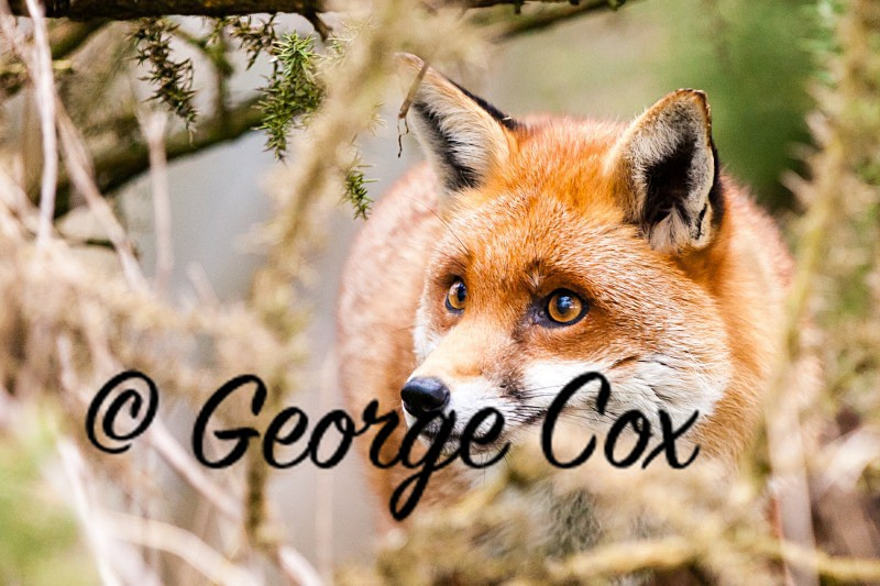 Red Fox - Mammals