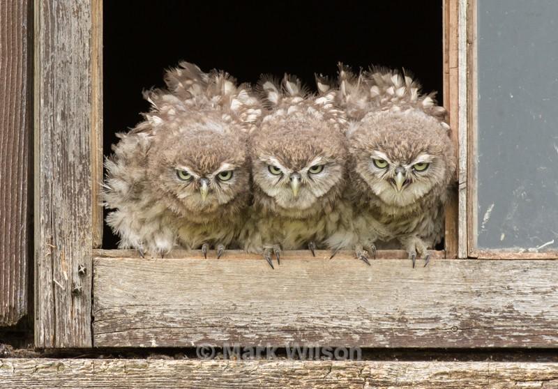 Little Owl Chicks - Birds of prey & owls