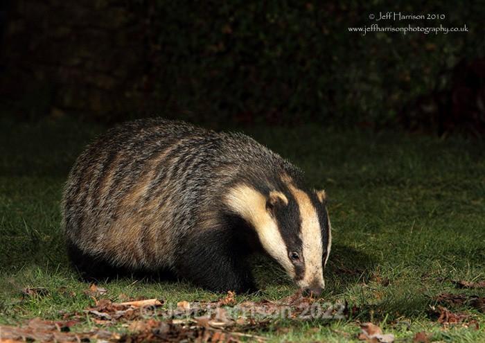 Badger (image Badg 003) - Mammals