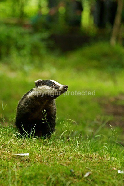 Badger - Freddy (Wildwood Trust) - British Wildlife