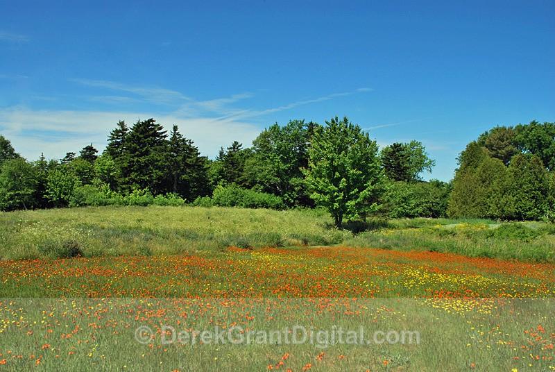 Orange Hawkweed in June - 1 - Flora
