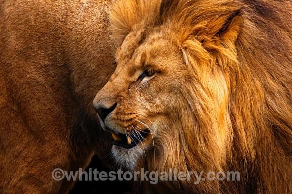 Angolian Lion - Wildlife and Animals