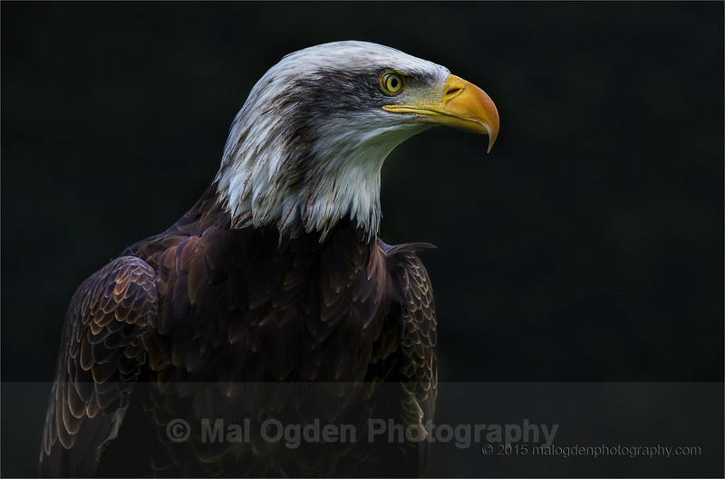 Alaskan Bald Eagle - Portrait