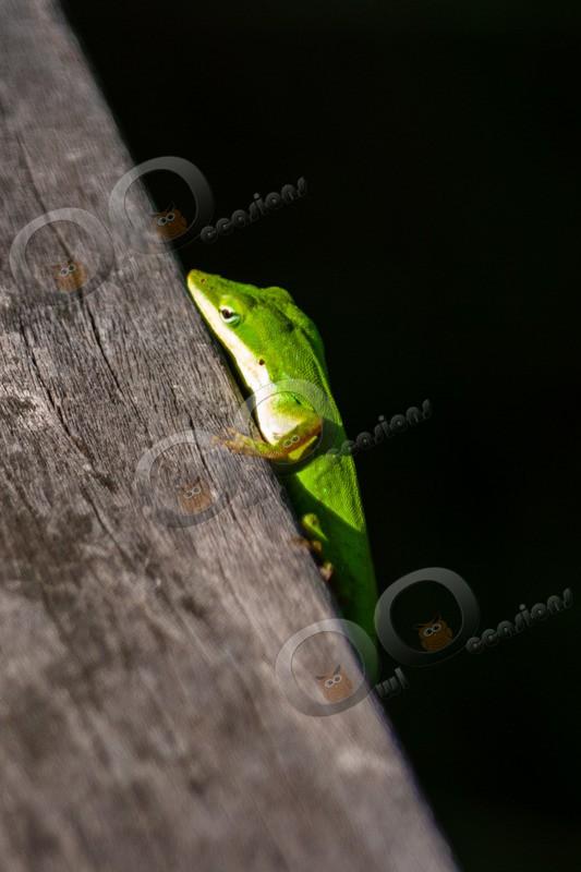 green anole Anolis carolinensis 0463 - Pet Photography